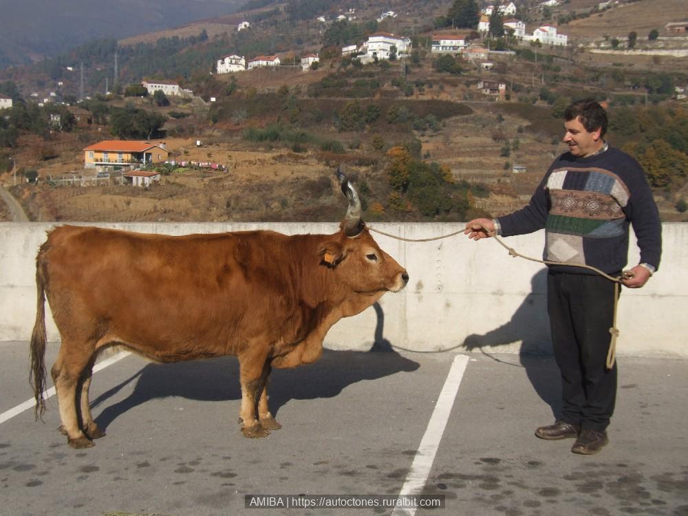 Rac Bull Animal